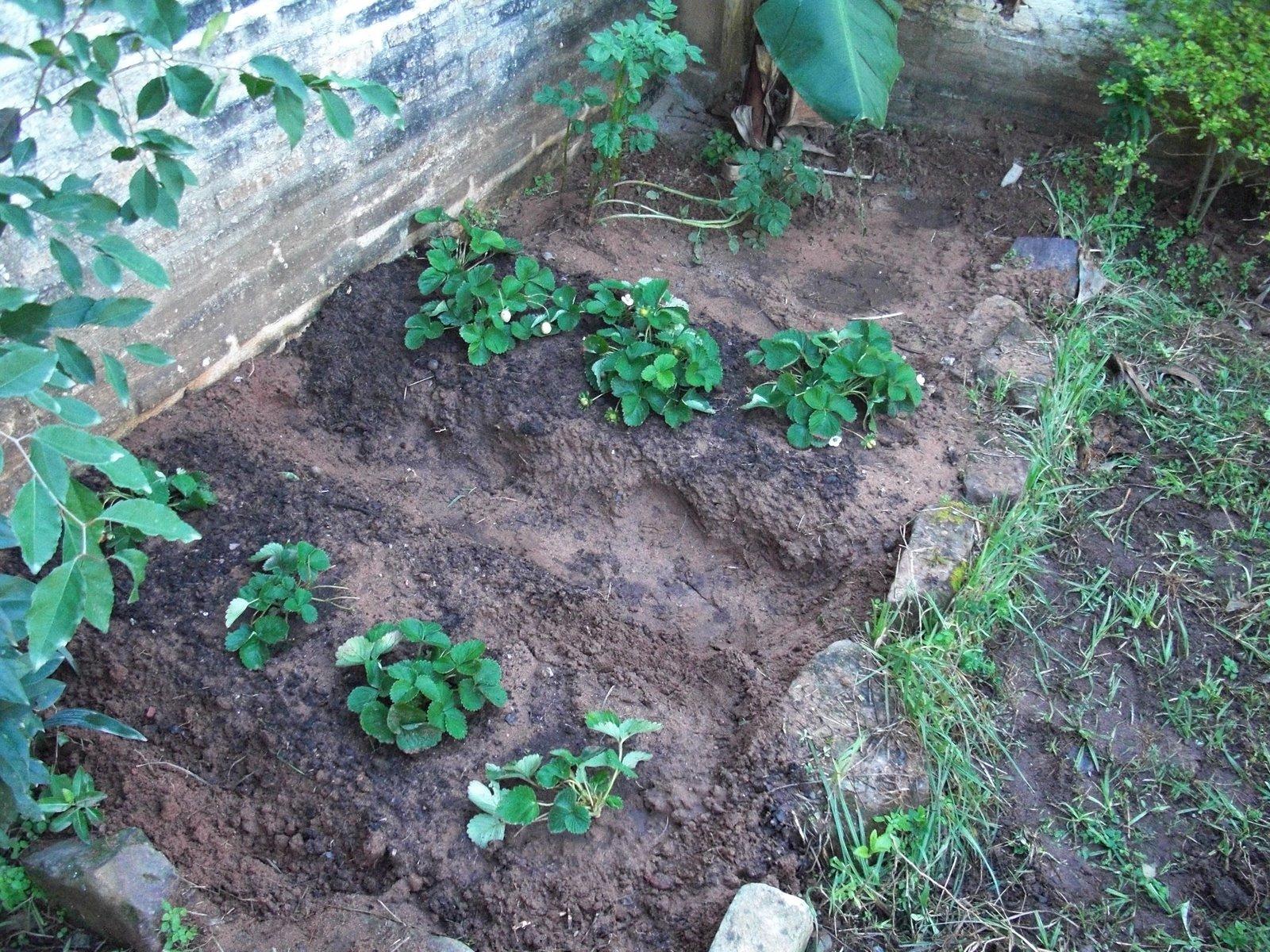 erdbeeren ableger kleinegarten 11 erdbeeren bilden im. Black Bedroom Furniture Sets. Home Design Ideas
